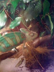 Budha, Jemen kameleon