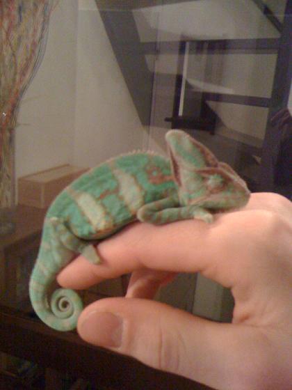 Budha, de Yemen Kameleon