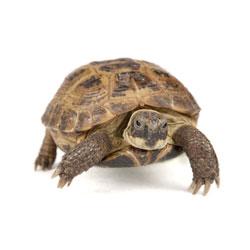 Pomme, de russische vierteenschildpad