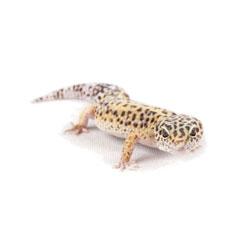 Foetsie de luipaardgekko